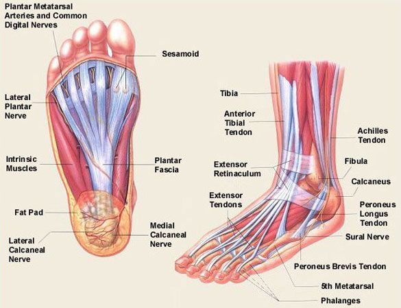 the anatomical and physiological overview of the human foot Foot Anatomy Pain